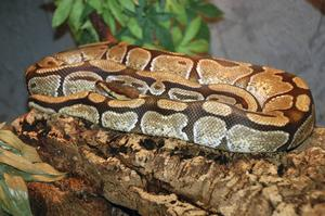 Ormar vill ha rutiner och inga förändringar, som den här kungspytonormen.
