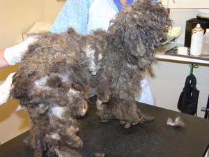Misskött. Så här tovig och smutsig i pälsen var hundarna när de omhändertogs.