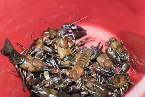 I hinken. Kräftorna sorteras och alla som inte håller minimimåttet tio centimeter släpps tillbaka.