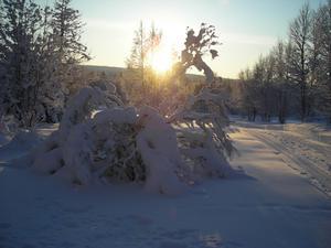Årets andra dag 2010. -22 grader. Västsjön, OfferdalAndra veckan med temperatur under 20-strecket. Stackars syrénbusken längtar efter att slippa sin börda.