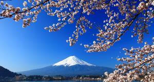 Klassisk japansk vy: berget Fuji sett genom körbärsblommor.
