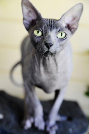 Alla allergiker tål inte Sphynxkatterna. Men till Elite cats cattery kan den osäkre komma och provnosa.