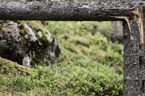 Dagmars framfart syns lite här och där. I naturreservatet har stigen rensats, men de fallna träden får ligga kvar.