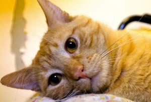 Börjar tröttna. Gulis har varit på katthemmet i över två månader. Han gillar människor men inte andra katter, så därför får han vara ensam i ett rum. Därför är personalen särskilt angelägen om att han snart ska få komma till ett hem utan katter.