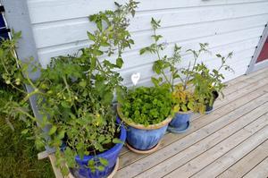 Grönska. Inga-Lisa Petterssons tomatplantor ser väldigt välmående ut trots att hon för tillfället har andra växter att fokusera på. Bild: Lars-Ivar Jansson