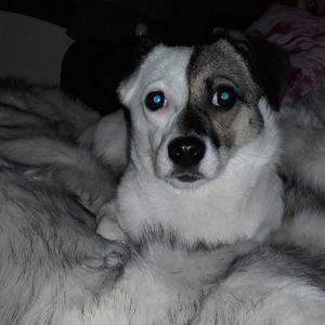 Så här ser den försvunna hunden Riley ut. På den öppna facebooksidan Missing dogs Stockholm finns mer info.