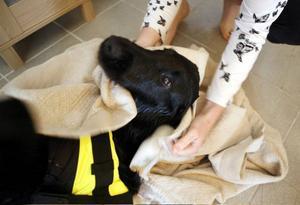 Qulia myser när hon blir torkad efter simturen i hundbassängen.