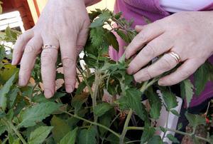 Händerna tillhör Tanja Andersson, som är trädgårdsintresserad och bor på Frösön.