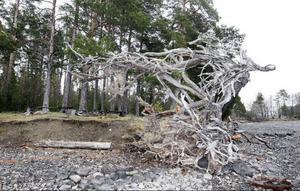 Det är långa stränder efter Kungsgårdsviken. Den här imponerande rotvältan ligger vid en av rastplatserna.
