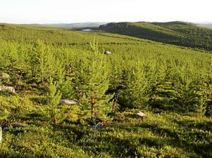 Det här är inte skog utan en trädplantage, skriver artikelförfattaren.