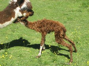Den lilla alpacka-pojken är en halvtimme gammal. Han har just lärt sig stå på dom långa benen.Väl uppe blev nog världen lite för stor, så han söker trygghet hos sin mamma.