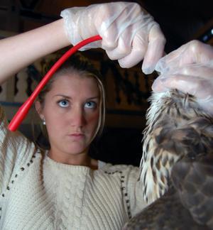 Att sondmata ett skadat djur var ett av momenten, som en av deltagarna, Kajsa Celander, från Lund och veterinärstuderande, fick prova på.
