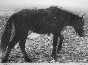 """""""Tröstlöst"""" av Sune Herbertsson, ett fotografi med hästmotiv som har köpts in av Länsmuseet."""