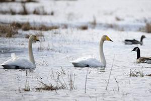Sångsvan och andra fåglar som vi enligt artskyddsförordningen har ett särskilt ansvar för sätter stopp för torvbrytning.