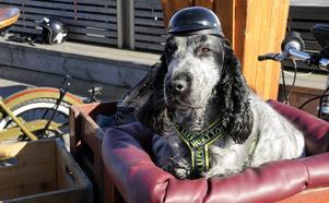 Mattias Björks hund Pyssla har en egen sittplats på hans flak, och en liten specialtillverkad hjälm för hundar.