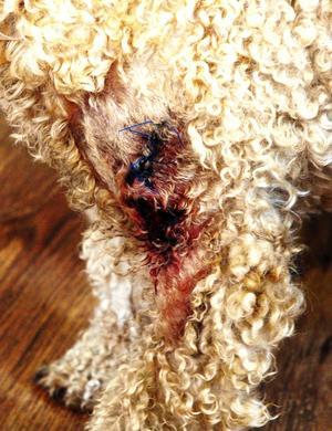 Illa biten. I ett nafs slet kamphunden bort en bit av huden och muskeln från Sigges bogblad.
