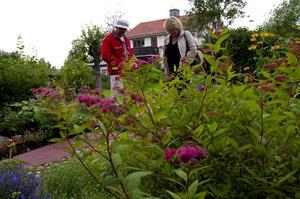 Den rosa Ros-spirean är bland de vanligaste av perenner i trädgårdar. Foto:Karolina Lundgren