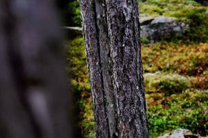 Spår efter gamla skogsbränder syns på många av tallarna.