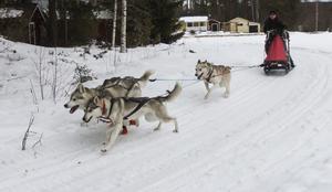 Vanligtvis brukar Tarja kör med fyra eller sex hundar åt gången. Hundarna kan då komma upp i en hastigehet över 30 kilometer i timmen.