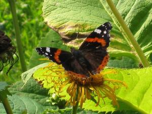Denna sällsynta fjäril som inte övervintrar i Sverige utan kommer varje år från varmare länder var och gästade oss i vår sommarstuga i Sundänge utanför Köping i helgen. Vi fick knäppa massor med kort, den flög iväg och kom tillbaka till dessa blommor hela tiden. Dom måste vara jättegoda för fjärilar. Snabeln gick hela tiden ner i blomman och sög upp nektar. Svårt att välja en bra bild!
