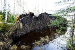 Rotvältor uppstår oftast vid hård blåst när rötternas fäste i marken försämrats av hög markfuktighet. Vid bättre fäste händer det att stammarna bryts. Källa: Wikipedia