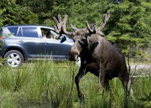 Mellan 800 och 1000 viltolyckor rapporteras årligen i Västernorrland.