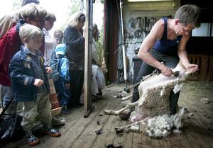 Snabbjobb. Christer Gustafsson med en sin el-klippare renrakade ett får på knappt en och en halv minut. Han uppskattar att han årligen klipper 15000 får. Foto:Peter Ohlsson