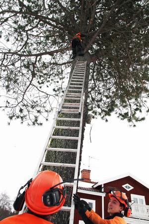Säkerheten är det viktigaste när det är dags att fälla träd.