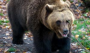 Hillsands kulturförening har med stöd av kommunen framhållit att väg 801 går genom det område som har tätast förekomst i världen av brunbjörn.