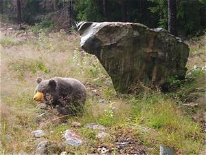 Sant eller falskt?Dessa björnar skymtades vid vägkanten då jag var ute vid sommarstället och plockade kantareller.