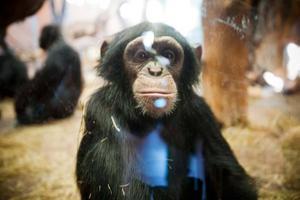 Furuviksschimpansernas släktingar i Kongo hotas av coltangruvorna.