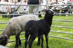 Två små lamm stod i en liten inhägnad för de som ville klappa.