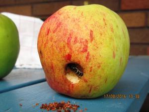 En geting har skalat sig in i ett äpple, smulet ligger framför, och smaskar sedan på det goda Aroma-äpplet.