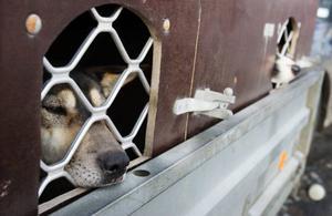 Hans-Petter Haugens hundar vilar i bilen inför loppet. Det är första gången han deltar i Amundsen race.