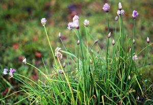 8 november och 9 grader varmt, då blommar gräslöken igen.
