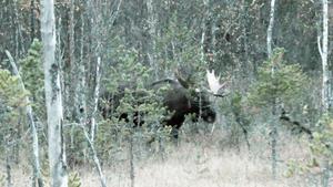 Älgfilmarna Ove Eriksson och Kenneth Isberg lockade fram älgen genom att tjuta som en älgko. Älgen som de uppskattade vara en 14-taggare filmades på en skogsmyr nära Hennan den 3 oktober i år.