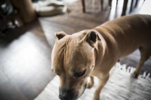 Dick Bewarp är inte helt ensam i huset. Han bor här tillsammans med sina två pittbull hundar.