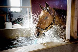 Cashém som tränas av Robert Berg är en av hästarna som Caroline Holm har hjälpt med rehabträning.