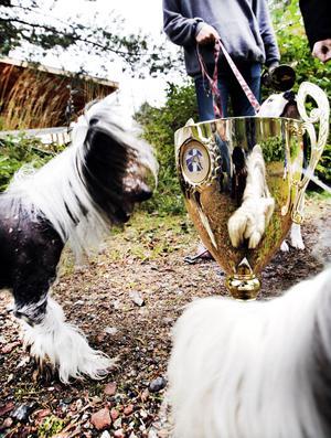 Den kinesiska nakenhunden Bosse passar på att spegla sig i SM-pokalen. Själv har han vunnit SM 3 gånger.