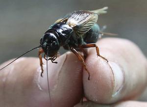 Intelligent? Tänkande? Nya rön visar att insekter som den här syrsan har förmågan till subjektiva upplevelser, en primitiv form av medvetande. Foto: Apichart Weerawong/AP/TT