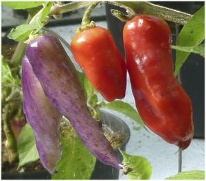 Kryddstarkt. En ny chilisort hos Örtagården, fröfirman med massor av chili. Det här är Cajamarca med drag av körsbär och Habanero. Foto: örtagården.