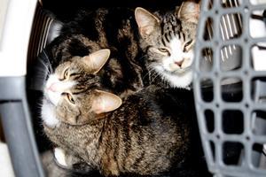 Katterna hittades övergivna på måndagsmorgonen. Det är oklart hur länge de fick sitta ute i burarna. De kan ha stått på trappan hela natten mot måndag.BILD: STEFAN IGNELL