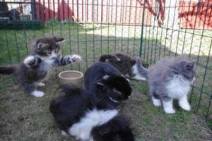 Kattungarna Figaro, Cleo, Gepetto och Pinocchio fick komma ut i hagen och hälsa på hos Pelle kanin och marsvinen. Alla fyra kattungana tyckte att det var roligt, de var nyfikna och ville leka med sina nya vänner. Marsvinen undrade vad det var ena som kom och ville leka med dom.
