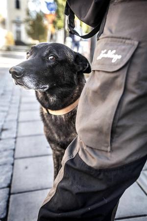 Tjabo är en Holländsk herdehund fyllda 6 år. Fritidssysselsättningar är att dra matte Erica på skidor och att vara utomhus överlag. Tjabo älskar när det bjuds på oxfilé eller leverpastej. Han gillar katter, men lyckades jaga upp en i ett träd förra veckan. Även små hundar gillar han att springa ikapp och leka med.
