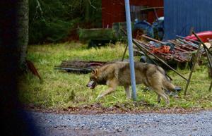 Här lämnar vargen Blomsteränget, efter att ha besökt familjens Erikssons gård.