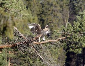 Efter en kort flygtur satte sig örnen i en tall och studerade omgivningarna.