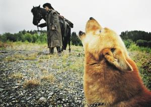 4-årige finnspetsen Nakke älskar att jaga tjäder och orre. Här har han insett att det är något spännande på gång.