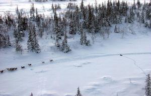 Här ses en järv jaga renar.Foto: Ulf Grinde