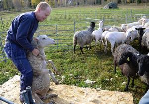 Ett och ett i taget tar Per Eriksson hand om fåren som ska klippas.
