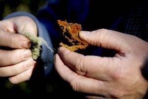 Garnlav och granticka är två rödlistade arter som trivs i granskogen.